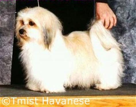 havanese puppies for sale in mississippi havanese pictures