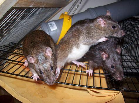 ratte im haus ratten kot hilfe ratte im haus wonach sieht das aus maus