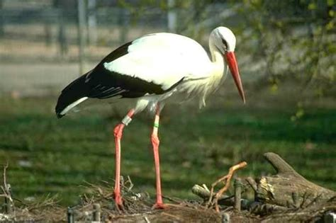siberian crane pashudhan and animal science the siberian crane