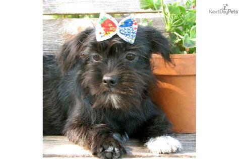 at what age are yorkies potty trained meet trixie a yorkiepoo yorkie poo puppy for sale for 300 trixie loving
