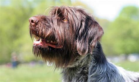 griffon dogs wirehaired pointing griffon breed information