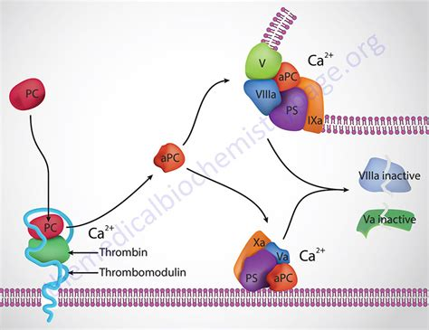 c protein coagulation blood coagulation hemostasis