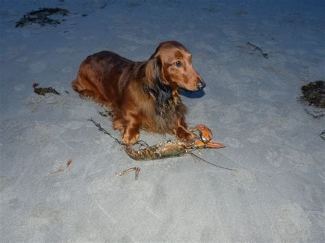 Haired Dachshund Shedding by Dachshund Swimming Pool Breeds Picture