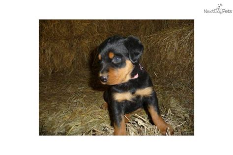 mad rottweiler rottweiler puppy for sale near southeast missouri missouri 1460efb4 01a1