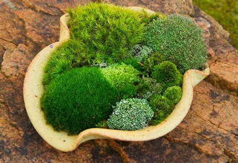Moss In Planters by Moss Dish Gardens Moss And Gardens
