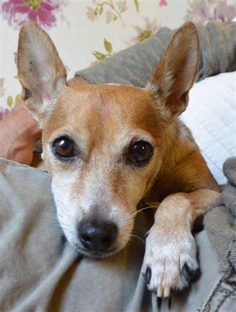 suche neues zuhause für meinen hund hund kr 220 mel zwergpinscher chihuahua mischling 2006