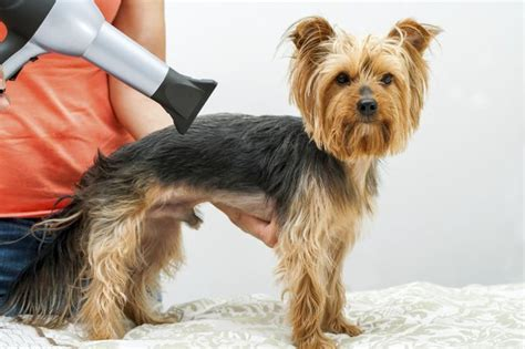 how to a yorkie puppy how to care for a terrier cuteness