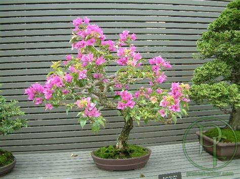 Ginseng Teki bonzai 159459 uluda茵 s 246 zl 252 k galeri