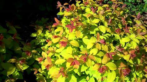 flowering shrub crossword play big spirea