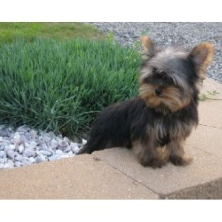 free yorkies pa justines precious pups terrier breeder in new florence pennsylvania