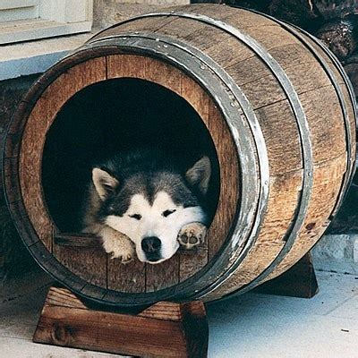 dog house for husky whiskey barrel husky dog dogs pinterest wine barrels my heart and dog houses