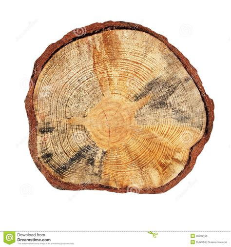 Section Of Tree by Cross Section Of Tree Trunk Isolated Royalty Free Stock
