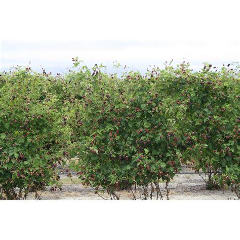 Garden Mapua Plant Boysenberry Mapua 3 5l Bunnings Warehouse
