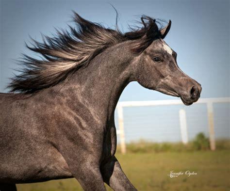 Najma Grey sheeba progeny arabians