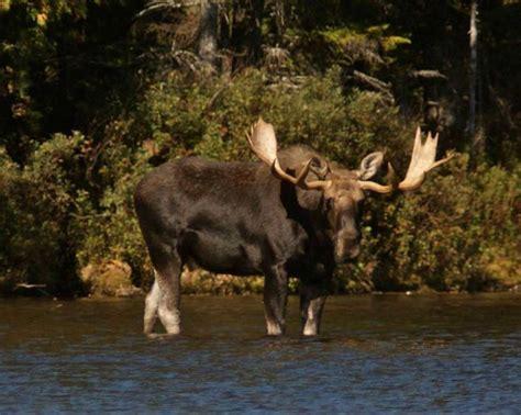Bull Moose Also Search For Big Bull Moose Deer Moose Caribou Elk And Reindeer