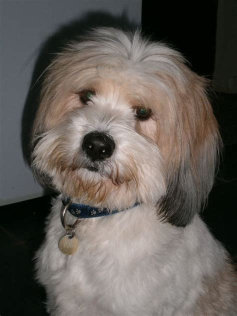 hair cuts for the tebelan terrier tibetan terrier terriers and haircuts on pinterest