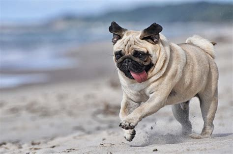 what were pugs originally bred for pug dogs breed information omlet