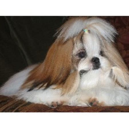 shih tzu breeders carolina debadoshihtzu shih tzu breeder in clemmons carolina