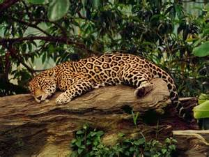 Jaguar Information And Facts Jaguar Animal Facts And Information