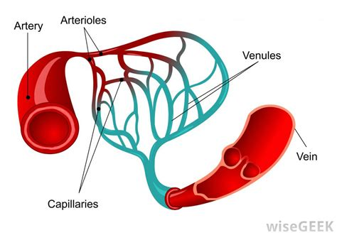 blood diagram what are the blood vessels of the brain with pictures