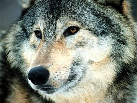 wolf s follow the piper gray wolves