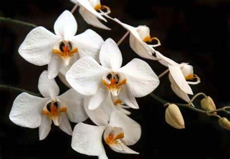 Tanaman Hias Anggrek Bulan Putih koleksi tanaman hias anggrek bulan phalaenopsis amabilis