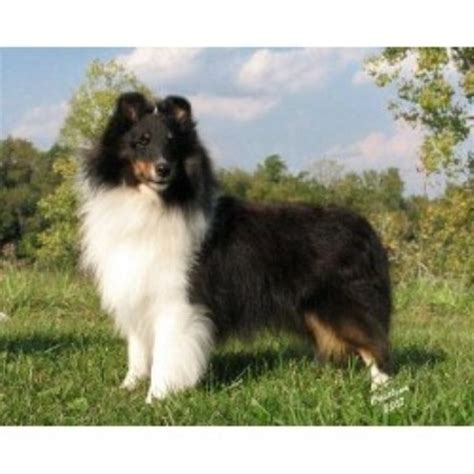 sheepdog puppies ohio akc sheltie puppies ohio breeds picture