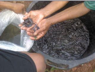 Pakan Ikan Lele Ukuran 5 Cm 085857798518 jual bibit ikan lele surabaya jual bibit
