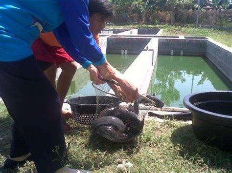 Bibit Lele Sangkuriang Di Bandung jual induk ikan lele sangkuriang phyton masamo mutiara