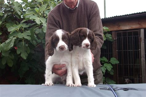 springer spaniel puppies for sale springer spaniel puppies for sale doncaster south pets4homes