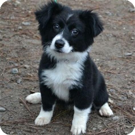 puppies for adoption in ga athens ga border collie meet molly a for adoption