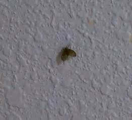 brown recluse pictures bed bug poison dangerous