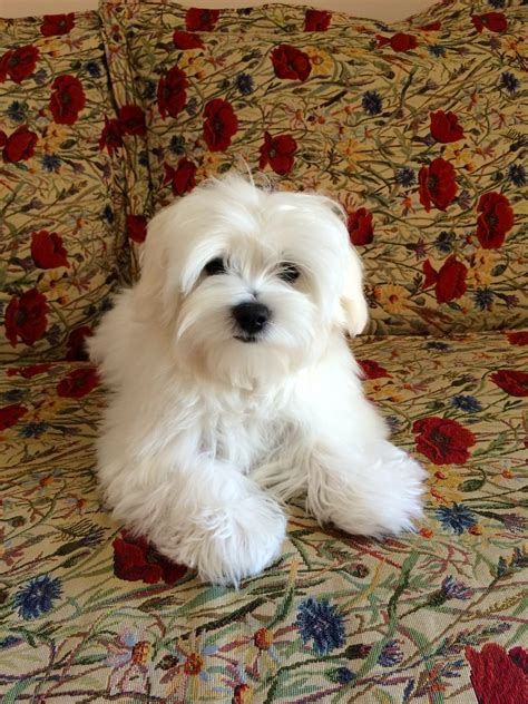 maltese terrier puppies for sale lovely maltese terrier puppies for sale romford essex pets4homes