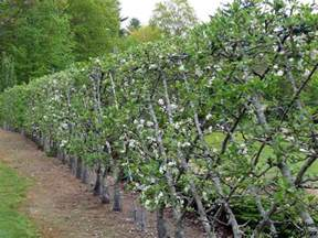 espaliered apple trees fruits and veg pinterest