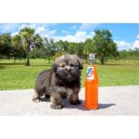 havanese puppies in missouri havanese breeders in missouri freedoglistings