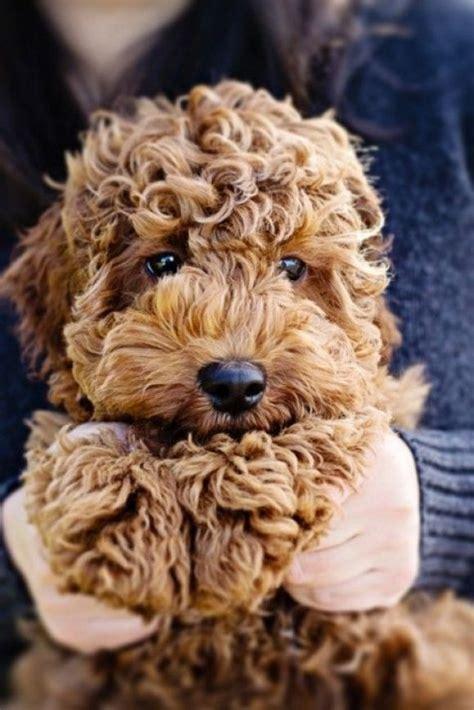 ginger doodle puppy pets pinterest