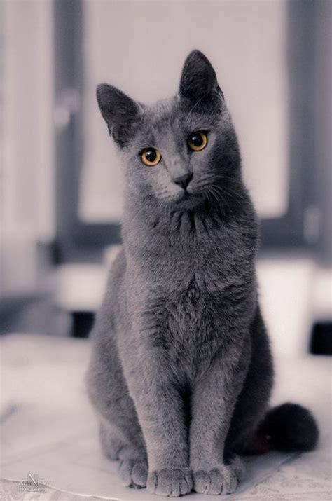 Jp Calista Grey Blue ロシアンブルー のおすすめ画像 34 件 ともだち 猫 かわいい
