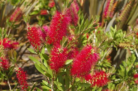 fiori di bush o australiani immagini