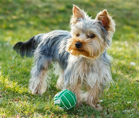 yorkie sneezing terrier hunde