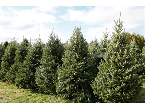 get your christmas tree locally forsyth christmas tree
