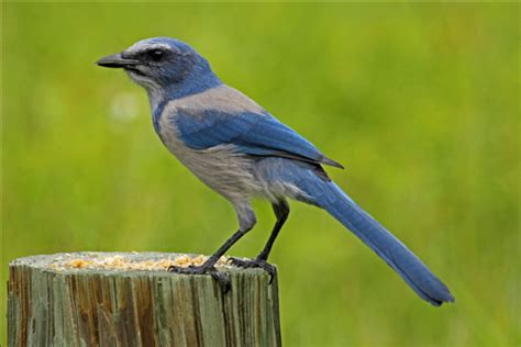 florida scrub jay song call voice sound