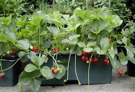 coltivazione fragole in vaso semina fragole piccoli frutti fragole come coltivarle