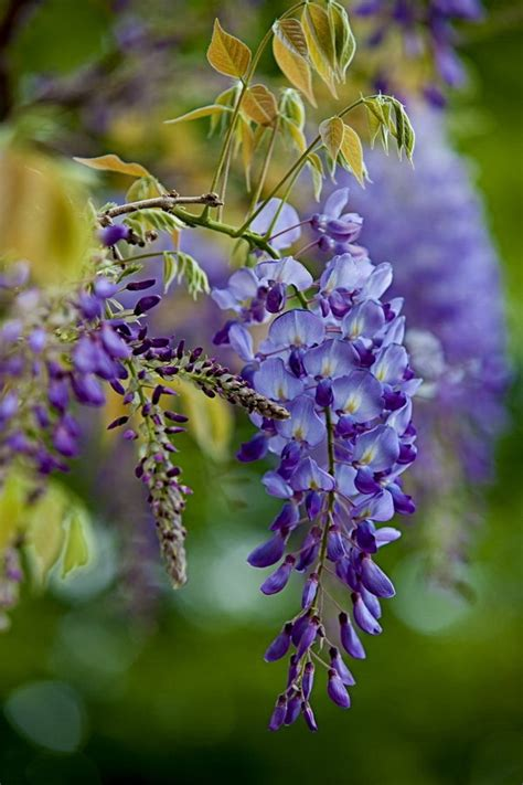 wisteria flower 25 best ideas about wisteria on pinterest flower vines