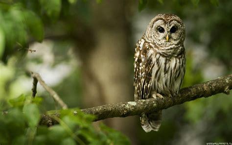owl animals wallpaper 35964227 fanpop