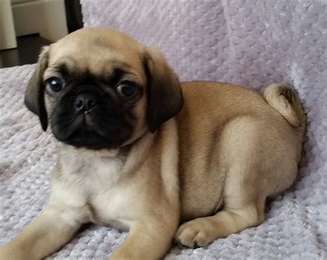 pug x king charles cutest puppies pugalier pug x king charles upminster essex pets4homes