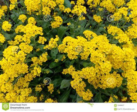 fiori a cespuglio fiori gialli a cespuglio stratfordseattle