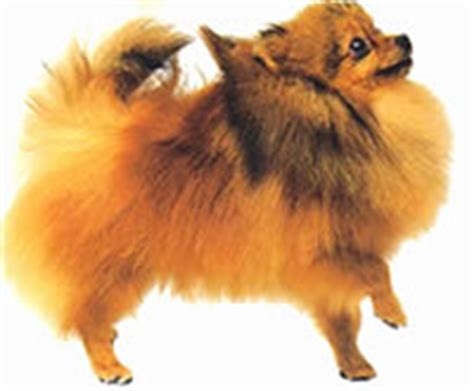 pomeranian losing teeth review of pomeranian pom