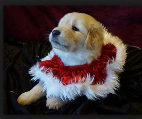 golden retriever dressed up 25 best images about golden retrievers on golden retriever