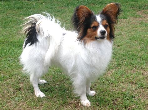 papillon puppies for sale papillon puppy for sale bedford bedfordshire pets4homes