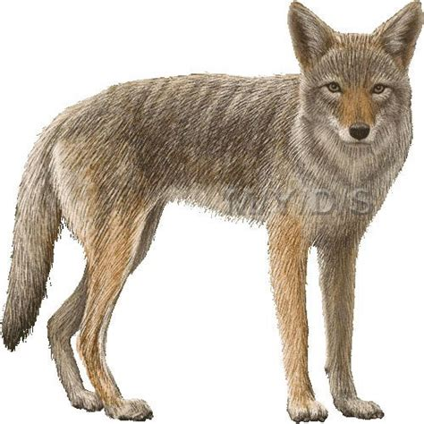 coyote clipart picture large clip animals